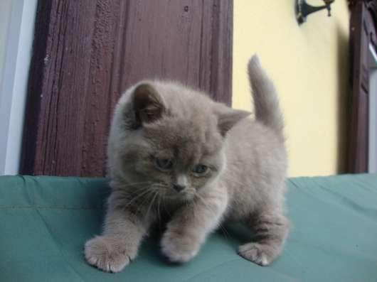 Британский котёнок- девочка, лилового окраса