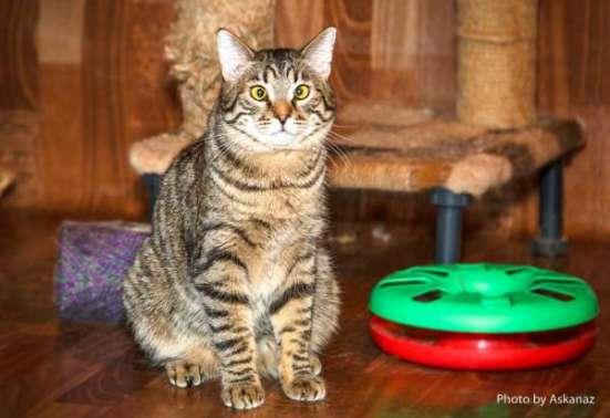 Полосатый косоглазый звездный котик Ганс ищет дом! в Москве Фото 2