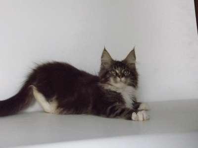Мейн-кун котята в г. Аксай Фото 1