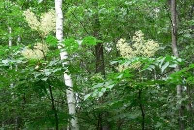 Аралия маньчжурская: саженцы, семена