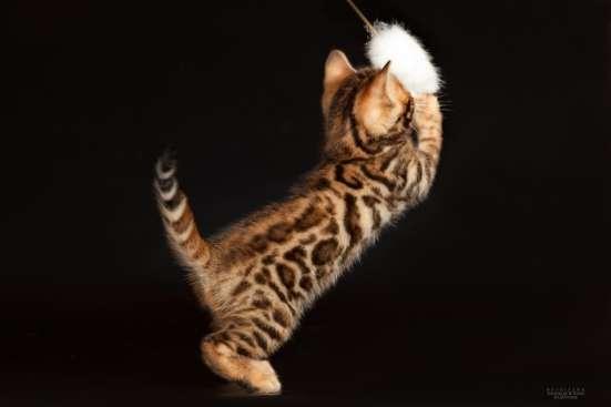 Питомник бенгальских котят в Челябинске Фото 2