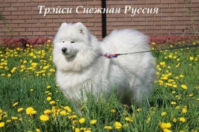 Самоед щенки в Иркутске Фото 4