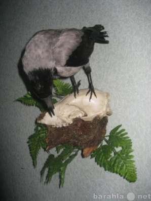 Чучело, композиция-ворона на черепе. Россия чучела