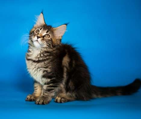 Продаются котята породы Мейн-Кун