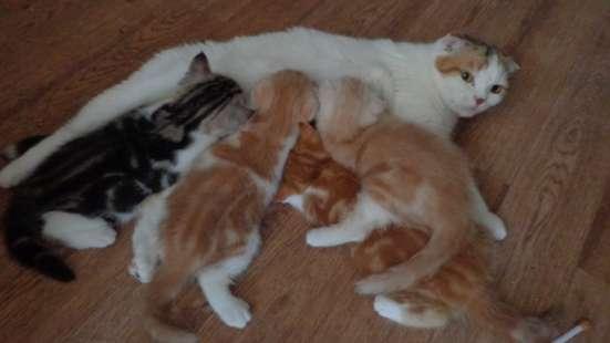 Шотландские котята вислоушки и страйты в Ульяновске Фото 1