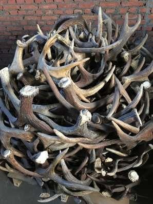 Закупаем рогов (марал лося и оленя)