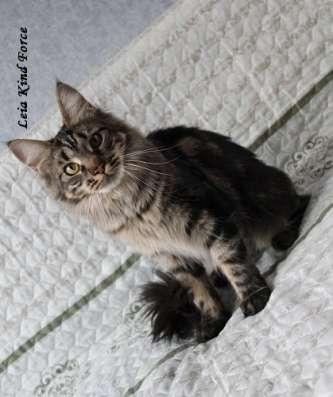 Кошечка мейн-кун дикого окраса в Москве Фото 1