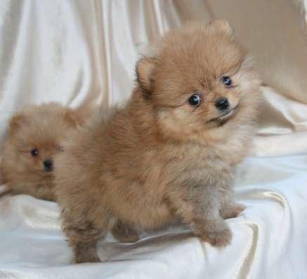 Большой выбор щенков померанского шпица