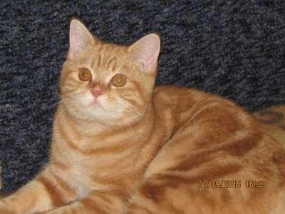 Шотландская короткошерстная кошечка