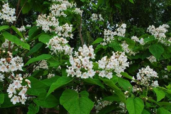 Катальпа - дерево потрясающей красоты. Саженцы в Воронеже Фото 3