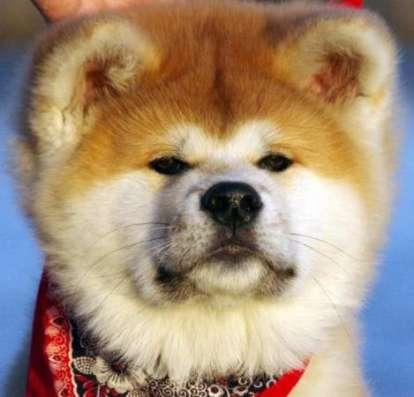 Шоу класса щенки японской акиты-ину в Москве Фото 1
