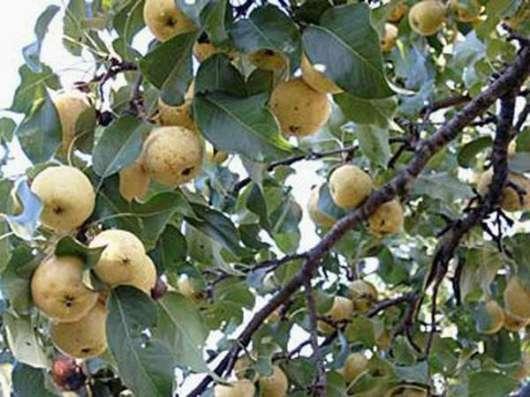 Продам саженцы плодовых и декоративных местные элитные
