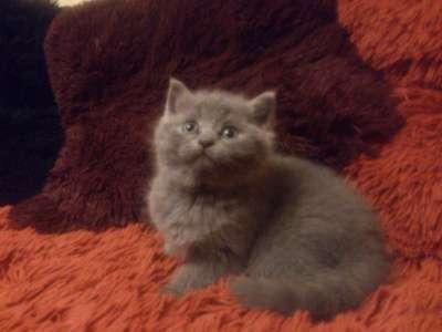 Шотландские котята в Твери Фото 4