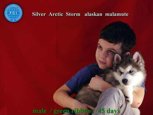 Аляскинский маламут - щенки