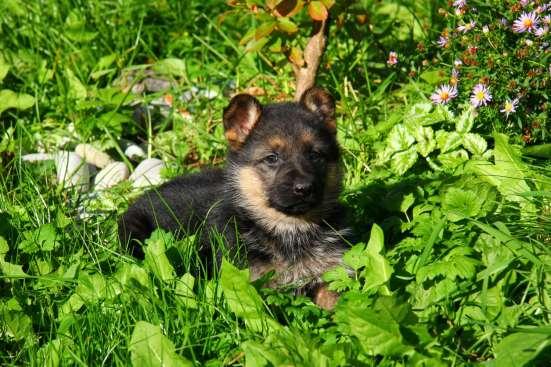 Щеночки немецкой овчарки чёрные и чепрачные в Дубне Фото 2