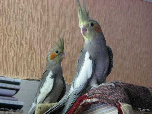 Птенец попугая кореллы -для обучения разговору