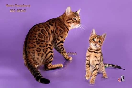 Бенгальский кот 3 месяца