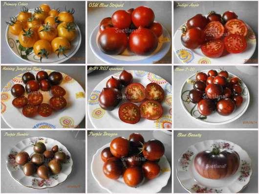 Семена томатов 300 сортов от коллекционера в Пятигорске Фото 2