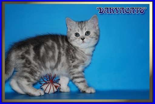 Шотландские котята мрамор и вискас