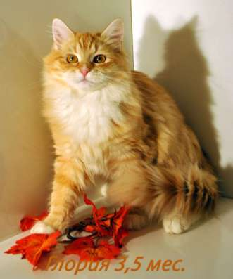 Сибирские клубные котята