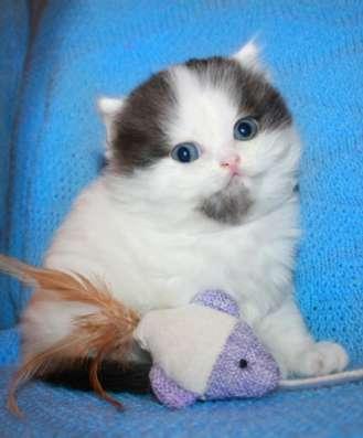 Клубный шотландский котенок хайленд в Омске Фото 2
