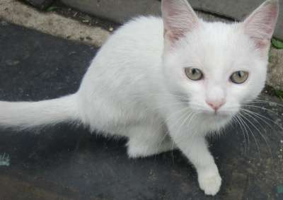 Котенок-девочка беленькая пушистая