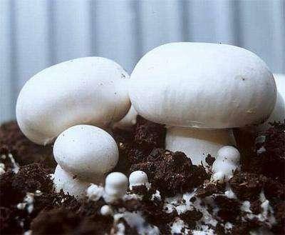 Мицелий (семена) грибов. Разные виды.