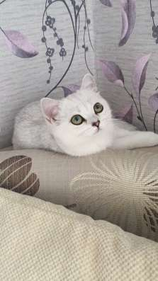 Британский клубный котенок девочка Скалли в Москве Фото 1