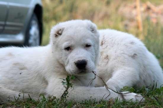 Продажа щенков породы среднеазиатская овчарка