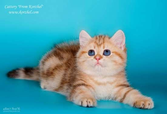 Котенок британский-золотой мраморный
