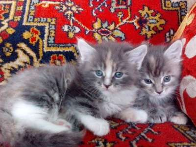 котята МЕЙН-КУН в Липецке Фото 1
