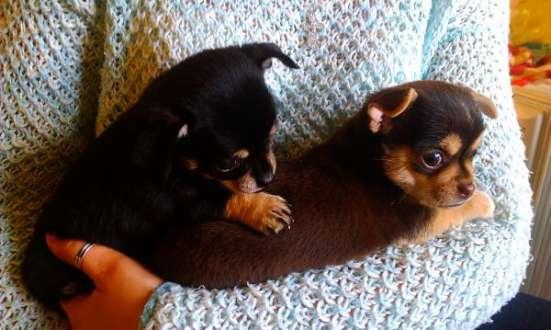 милых щенков чихуахуа