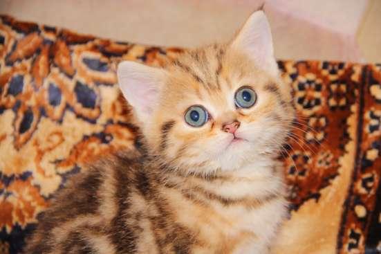 Чистокровные котята в Нижнем Новгороде Фото 6