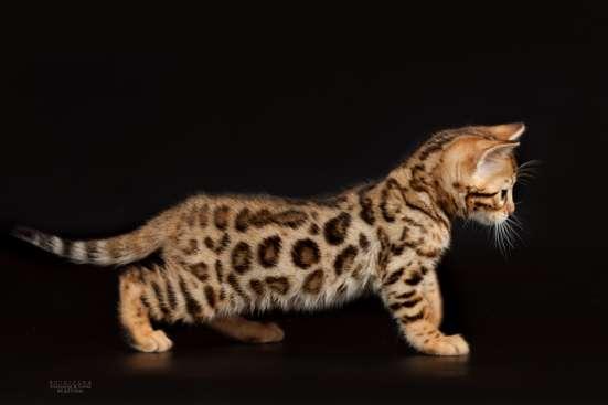 Питомник бенгальских котят