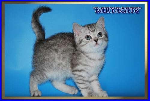 Шотландские и британские котята мрамор и вискас