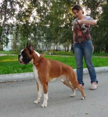 Щенки Боксера с отличной родословной РКФ в Краснодаре Фото 4