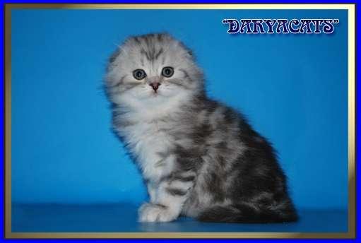 Шотландские и британские котята мрамор и вискас в Москве Фото 2