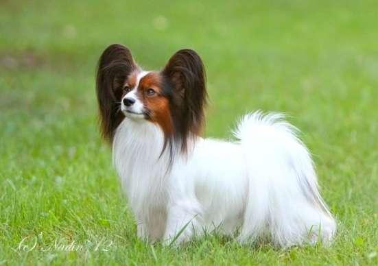 Королевская собака-бабочка