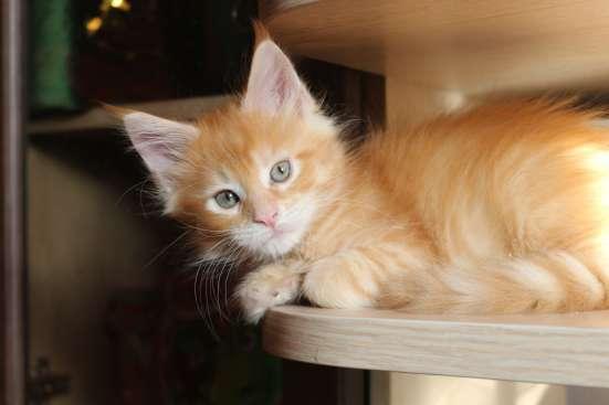 Продам котят породы мейн кун в Междуреченске Фото 2