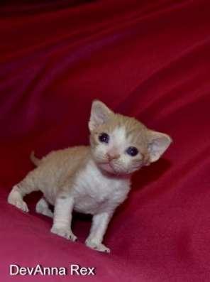 Девон рекс котята в Челябинске Фото 2