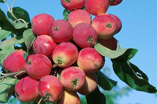 Саженцы райской яблони сортовые в г. Минск Фото 1