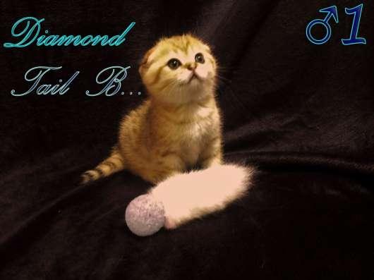 Шотландские вислоухие котята золотого окраса в г. Севастополь Фото 6