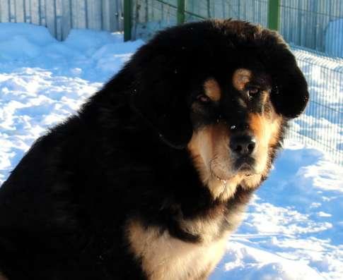 Подрощенная девочка тибетского мастифа отличного качества в Москве Фото 2