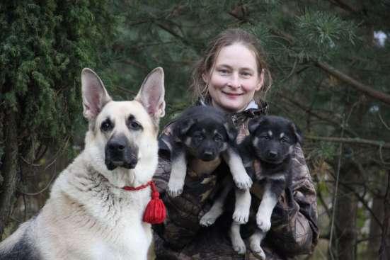 Щенков, собак породы восточноевропейская овчарка в Москве Фото 4