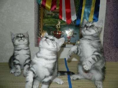 Британские шикарные котята