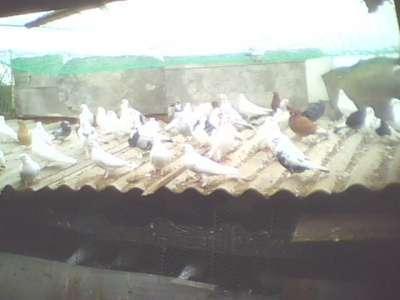 Продам голубей разных пород в г. Крымск Фото 1